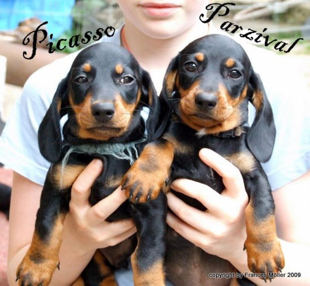 Hunde Rassehunde Dackel Tieranzeigen Seite 6