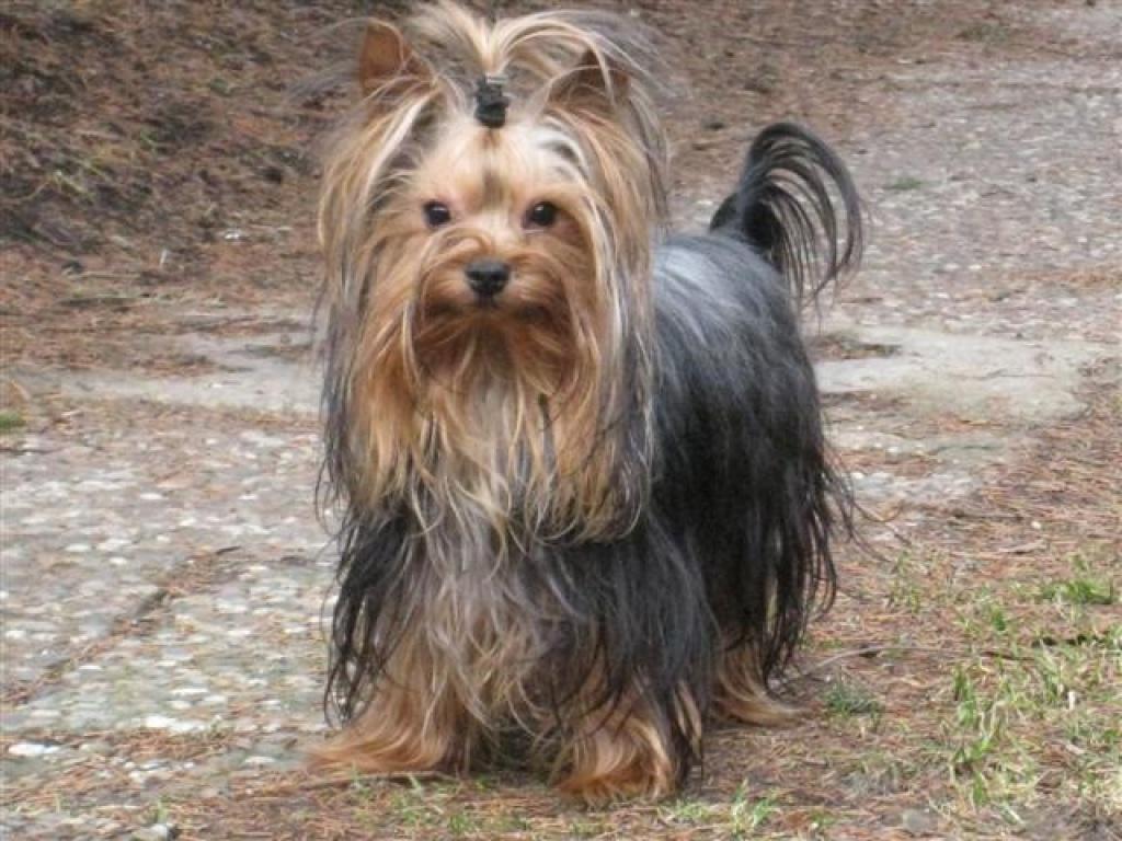 Hunde Rassehunde Yorkshire Tieranzeigen Seite 8