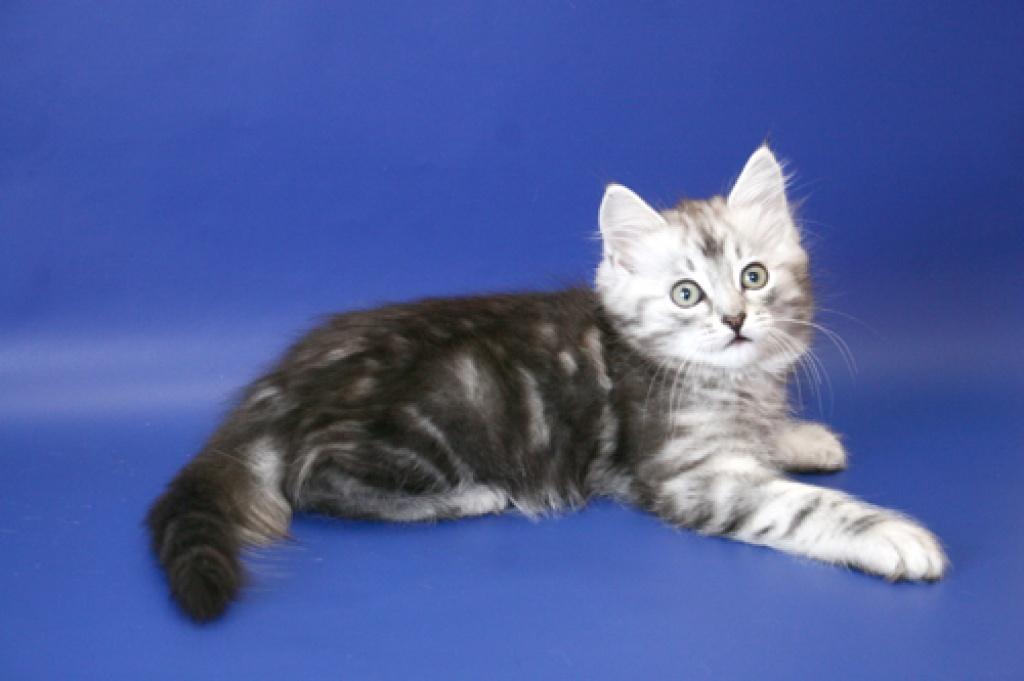 Katzen Aus Russland Suchen Ein Zuhause