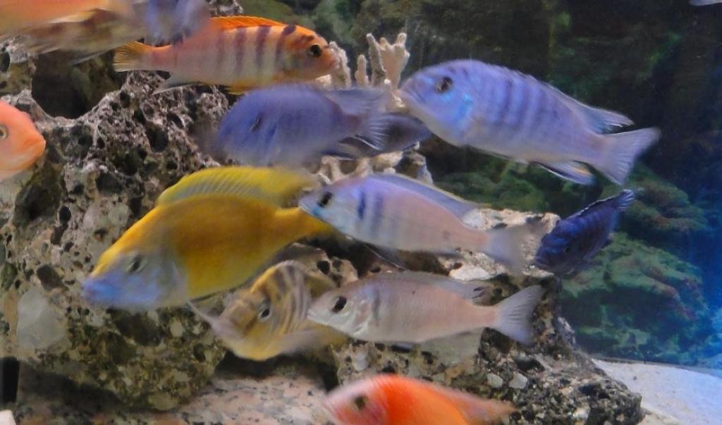 Fische barsche tieranzeigen seite 6 for Fische arten