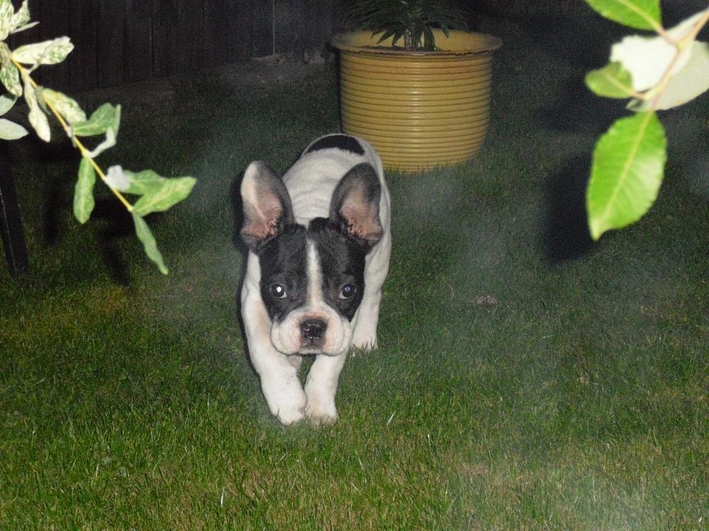 Suche franzosische bulldogge zu verschenken