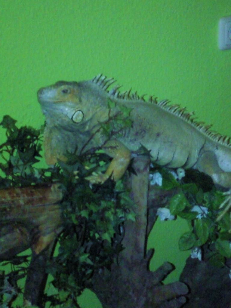 reptilien leguan tieranzeigen seite 4