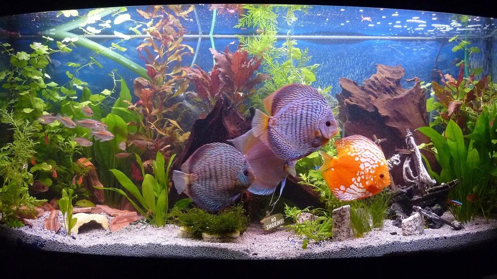 Tieranzeigen diskusfische kleinanzeigen for Diskus aquarium