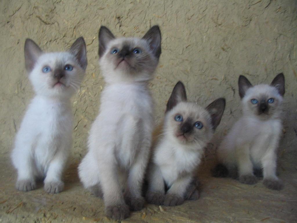 Katzen Rassekatzen Siam Tieranzeigen Seite 3