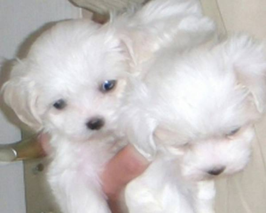 Rolly Pups Inc  Rolly Teacup Puppies