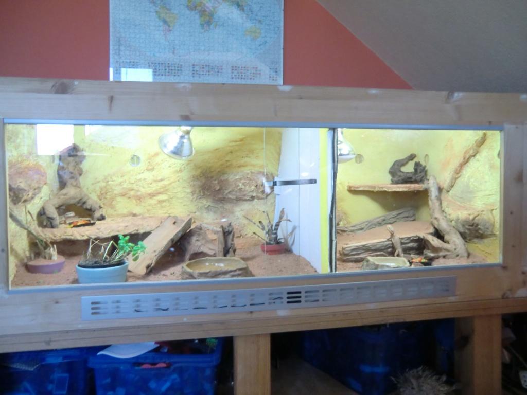 Terrarium komplett Zwergbartagamen Pogona henrylawsoni Reptilien