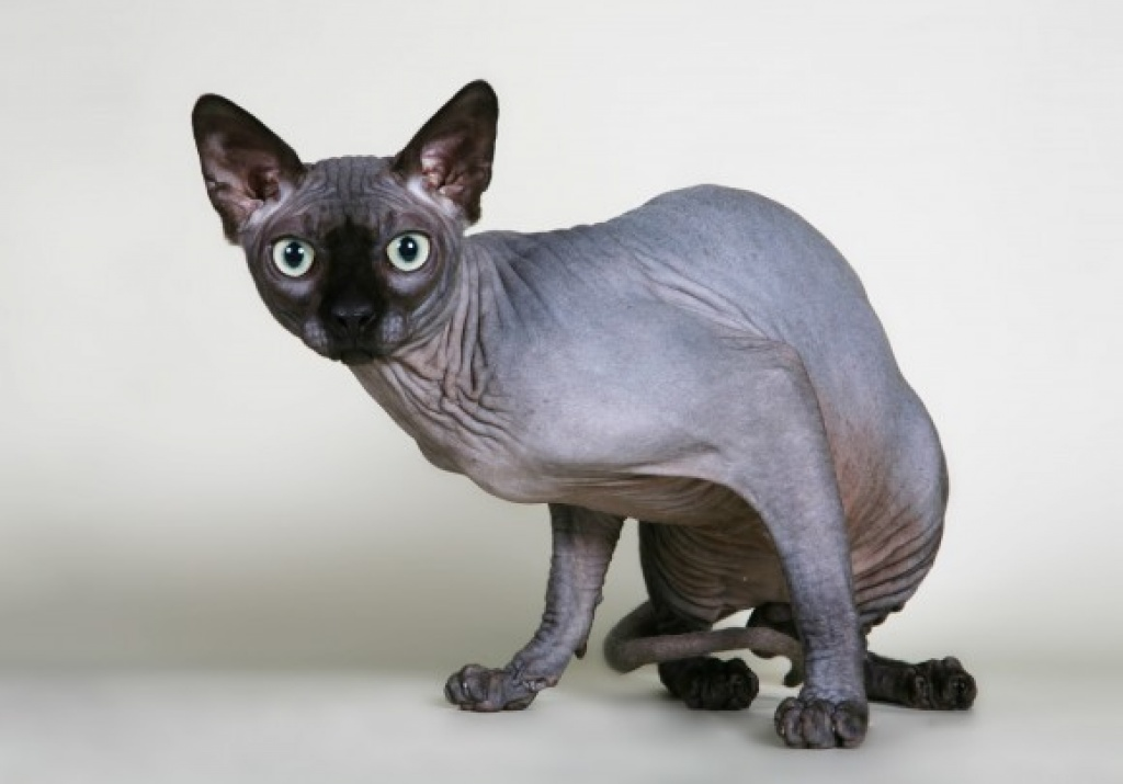 Hairless Egyptian Cats Breeds