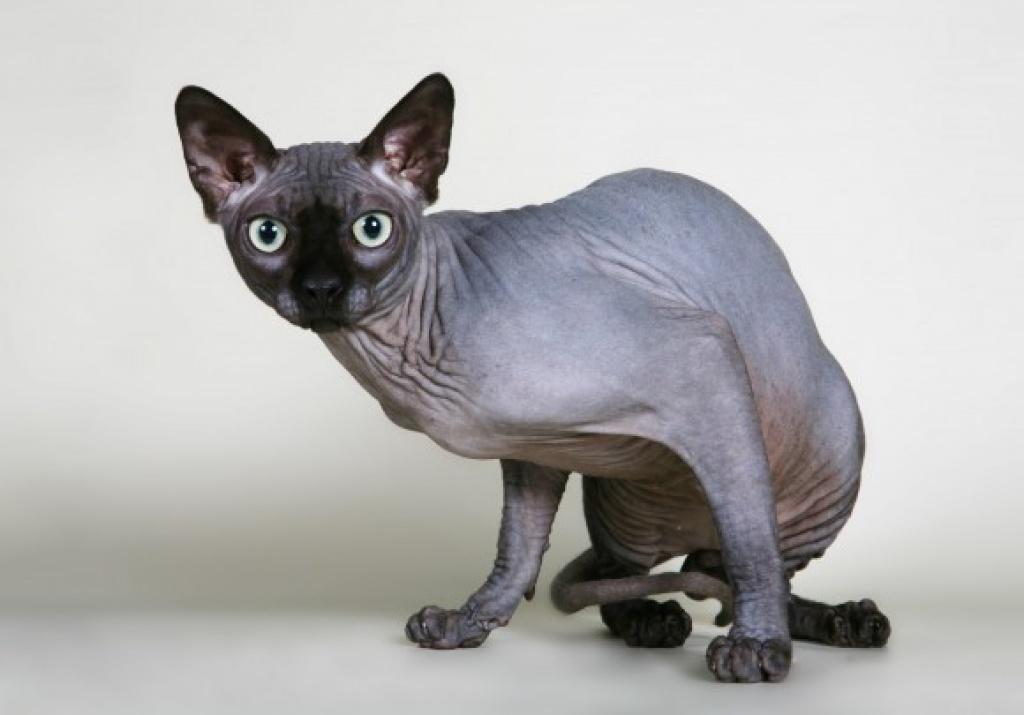 Rare Cat Breeds In Australia