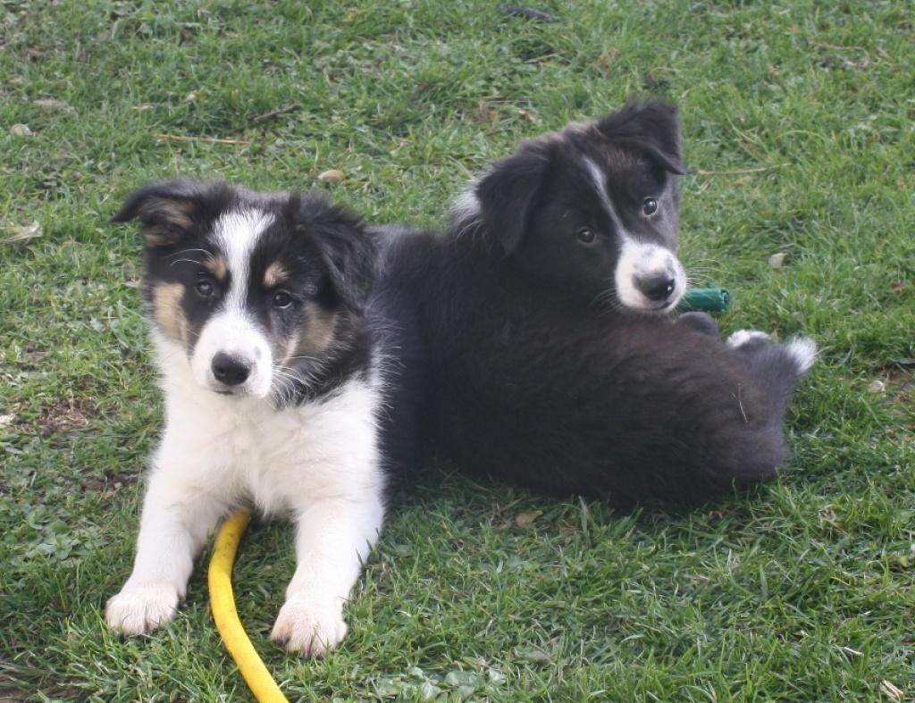 Hunde Rassehunde Border Collie Tieranzeigen Seite 1