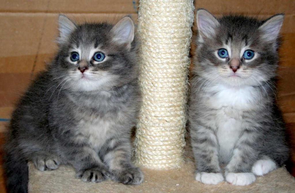 Katzen - Rassekatzen - Sibirische Katze Tieranzeigen Seite 2