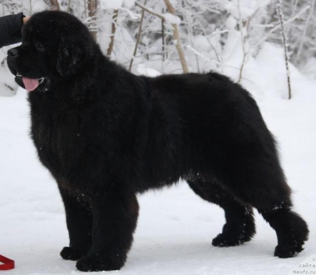Hunde Rassehunde Neufundl 228 Nder Tieranzeigen