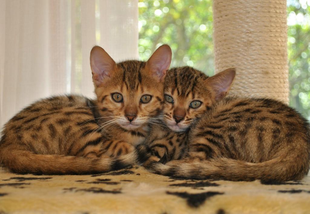 Katzen - Rassekatzen - Bengal Cat Tieranzeigen Seite 13