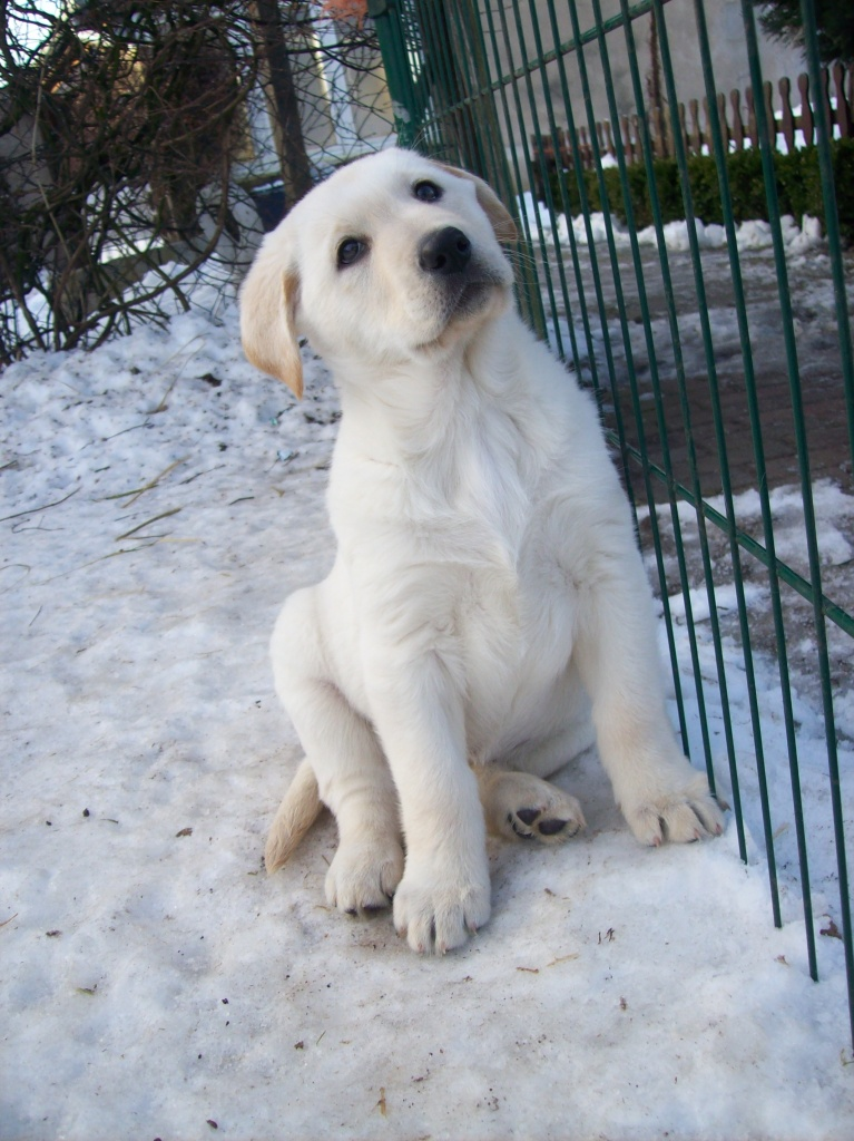 Labrador Weisser Sch 228 Ferhund Mix Mischlinge