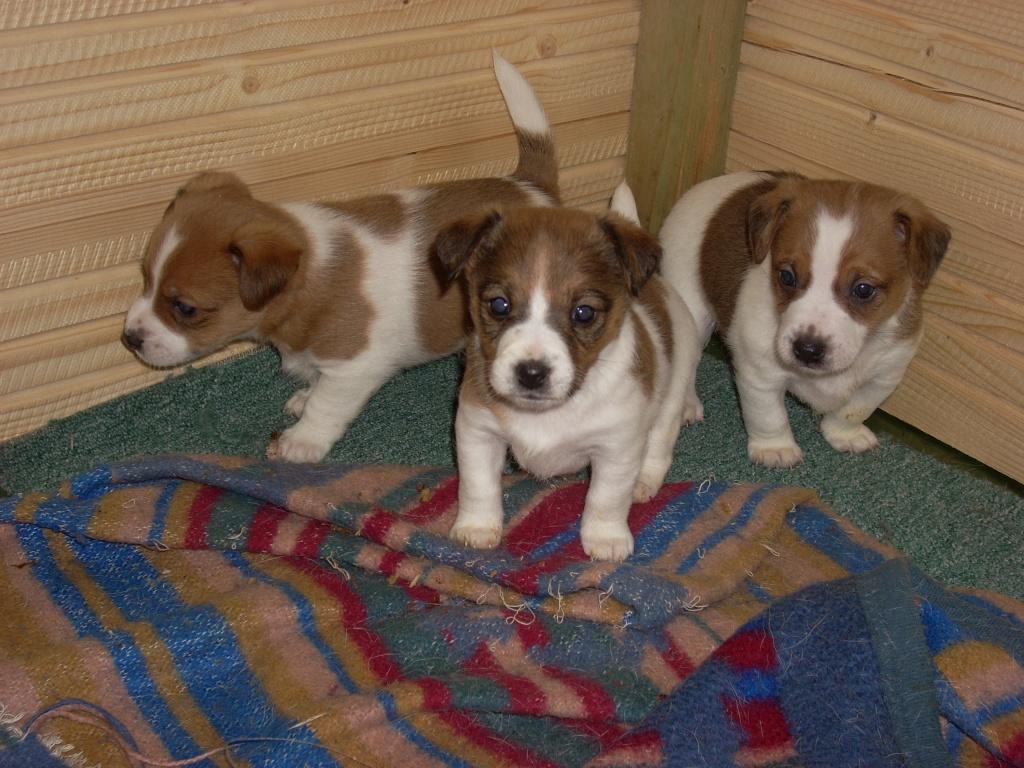 Hunde - Rassehunde - Jack Russell Terrier Tieranzeigen Seite 5