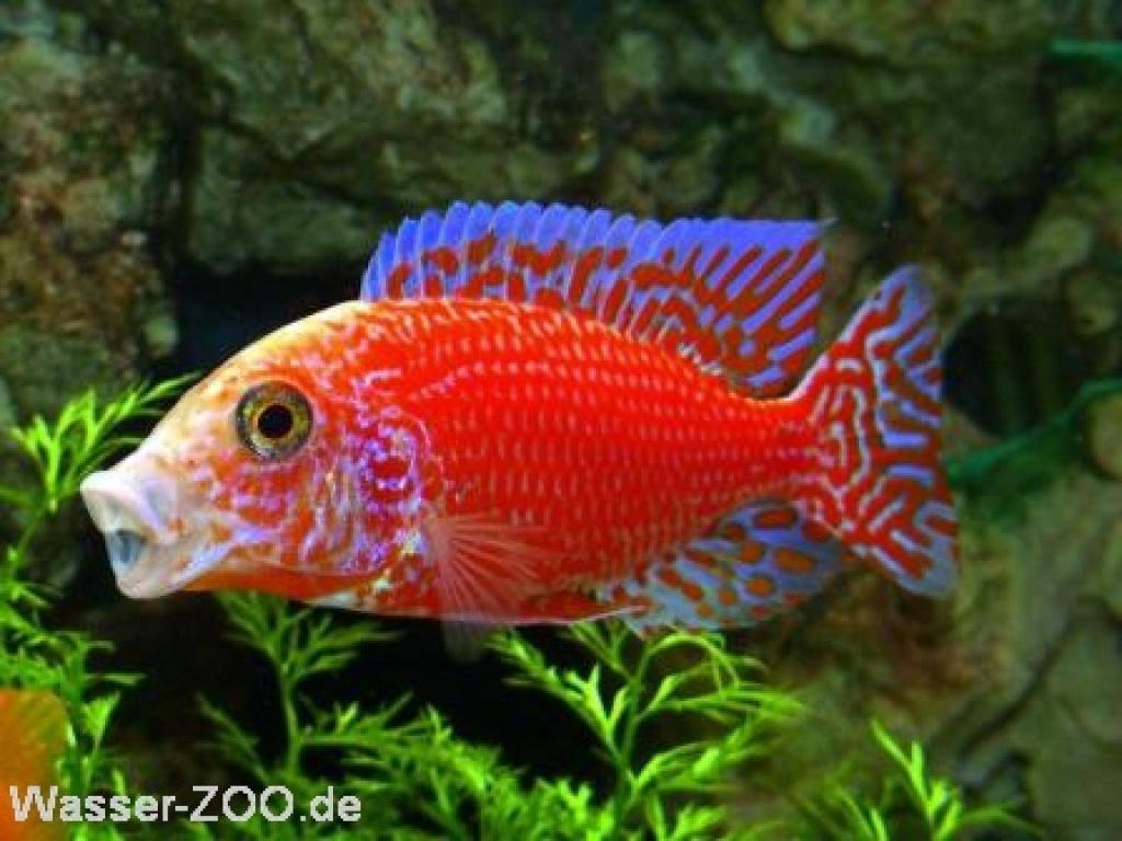 aulonocara firefish coral red malawi barsch barsche. Black Bedroom Furniture Sets. Home Design Ideas