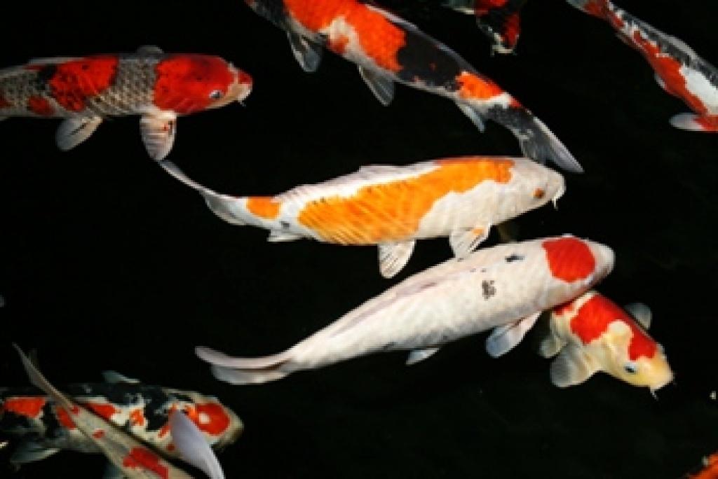 Fische goldfische tieranzeigen Teichfische deutschland