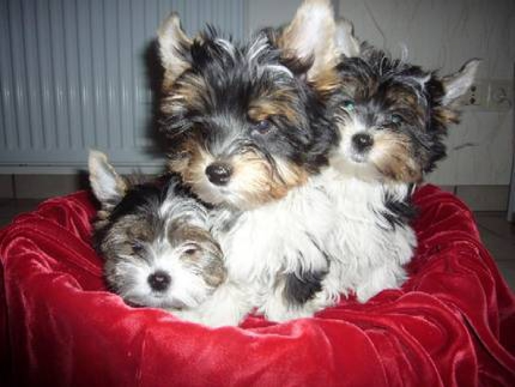 Pin by Linda Brown on Cute puppies Yorkie, Yorkshire