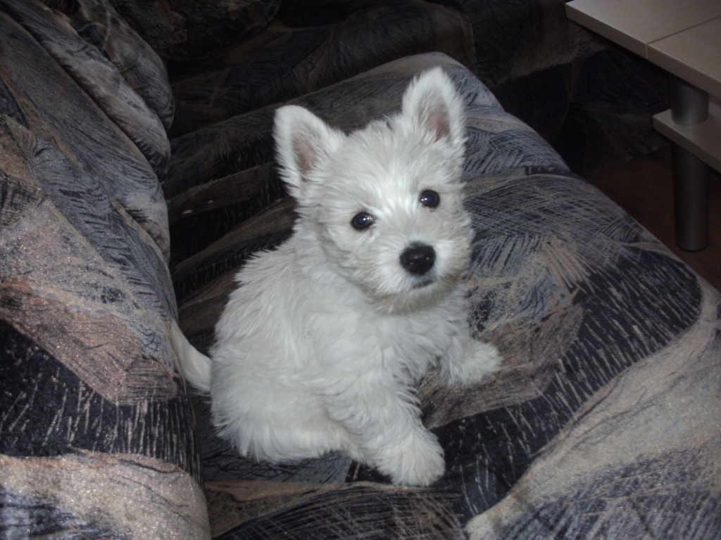 Hunde - Rassehunde - Terrier Tieranzeigen Seite 9
