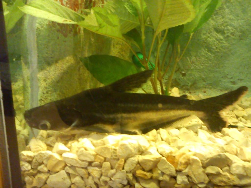 Fische tieranzeigen seite 25 for Goldorfen zucht