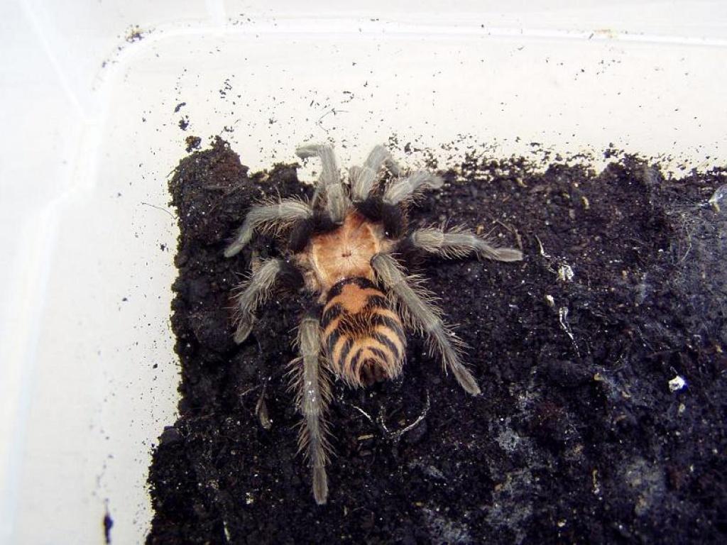 insekten spinnen tieranzeigen seite 1. Black Bedroom Furniture Sets. Home Design Ideas