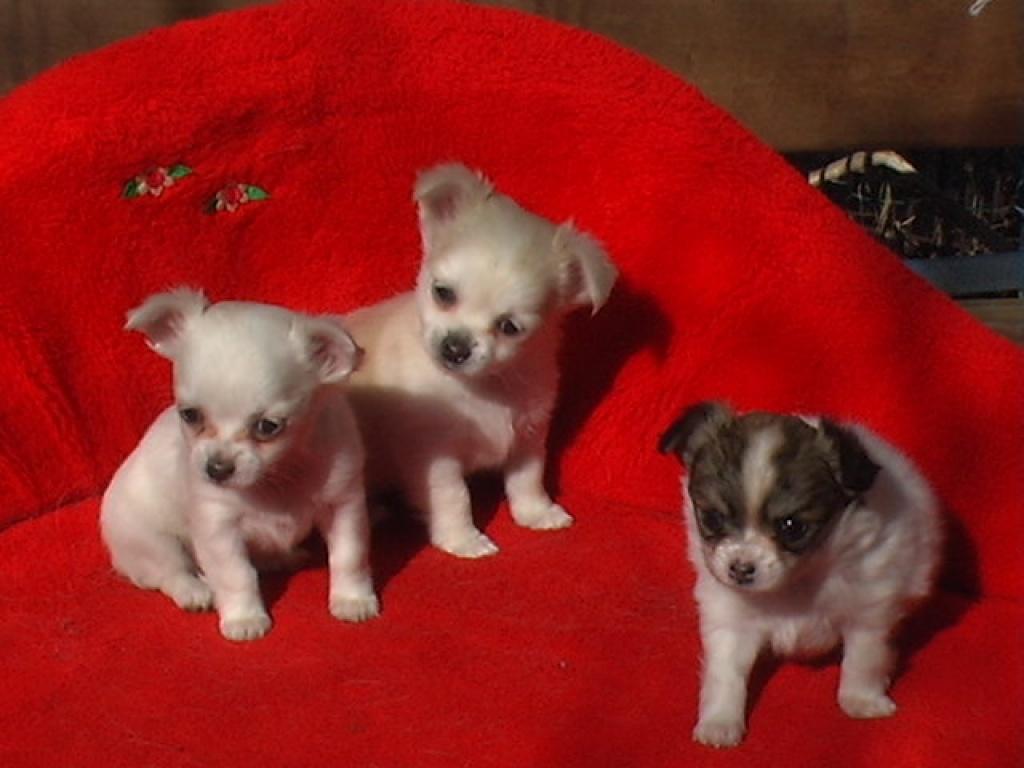 Hunde Rassehunde Chihuahua Tieranzeigen Seite 23