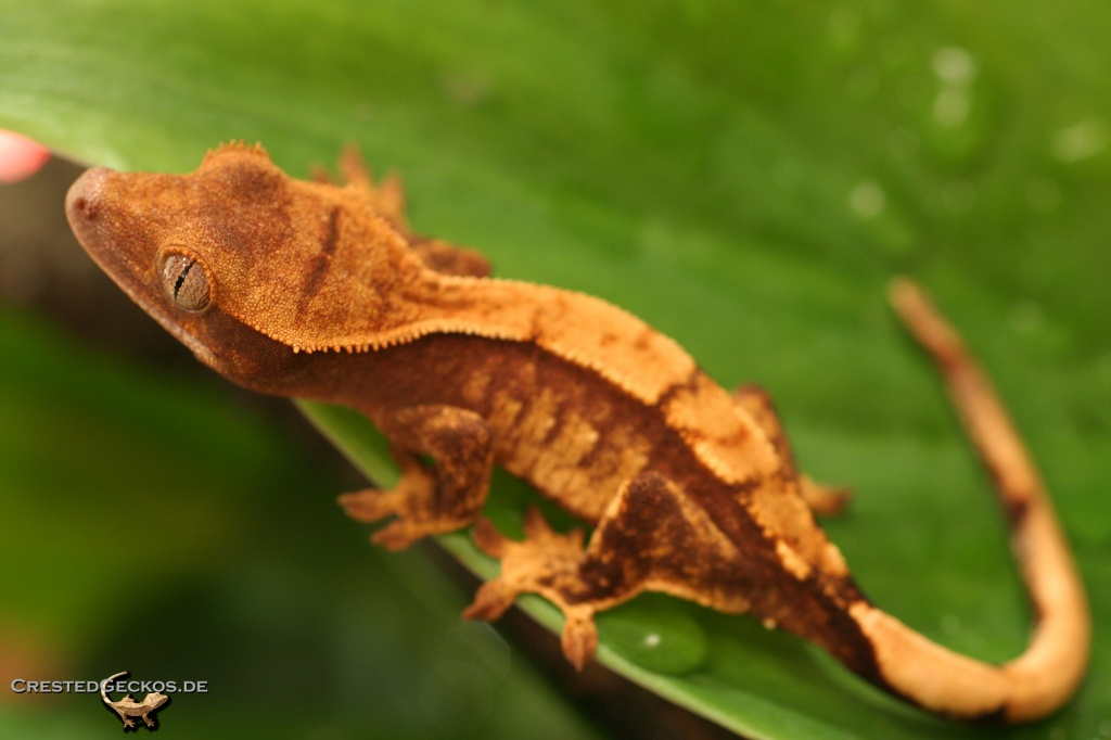 kronengeckos rhacodactylus ciliatus geckos. Black Bedroom Furniture Sets. Home Design Ideas