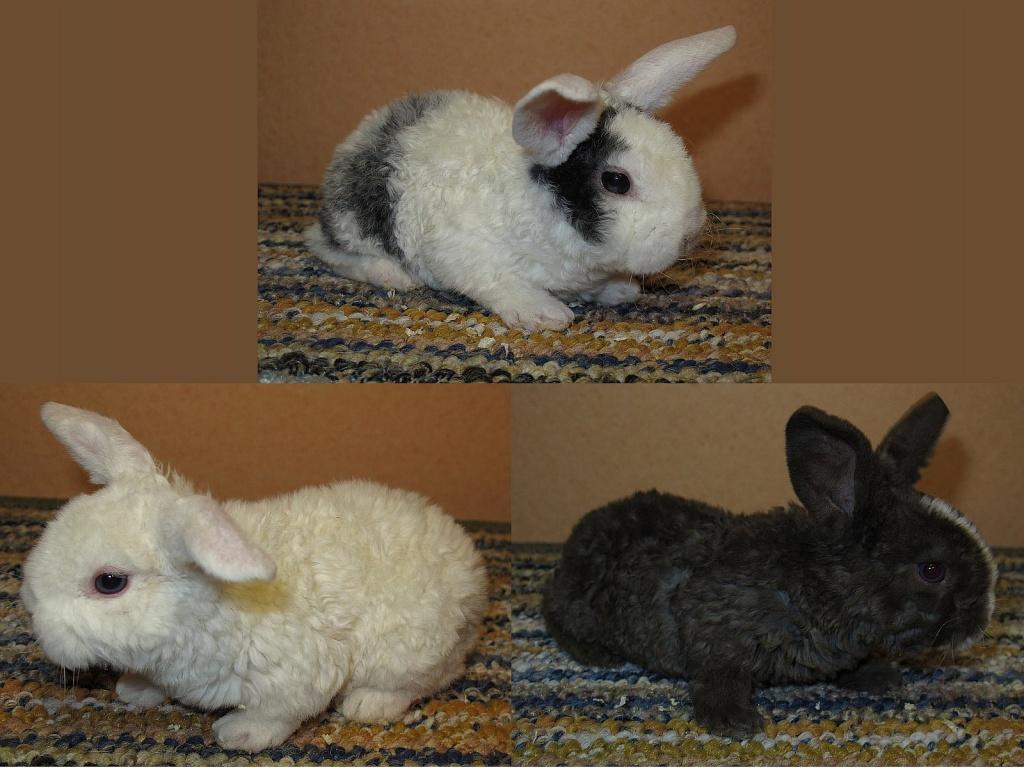 drei kleine rexzwergwidder d rfen bald ausziehen kaninchen. Black Bedroom Furniture Sets. Home Design Ideas