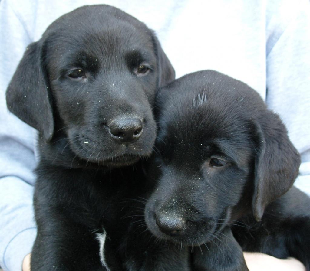 Hunde Rassehunde Labrador Tieranzeigen Seite 6
