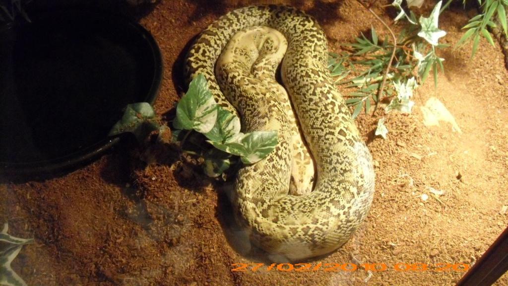 Reptilien - Schlangen - Python Tieranzeigen Seite 5