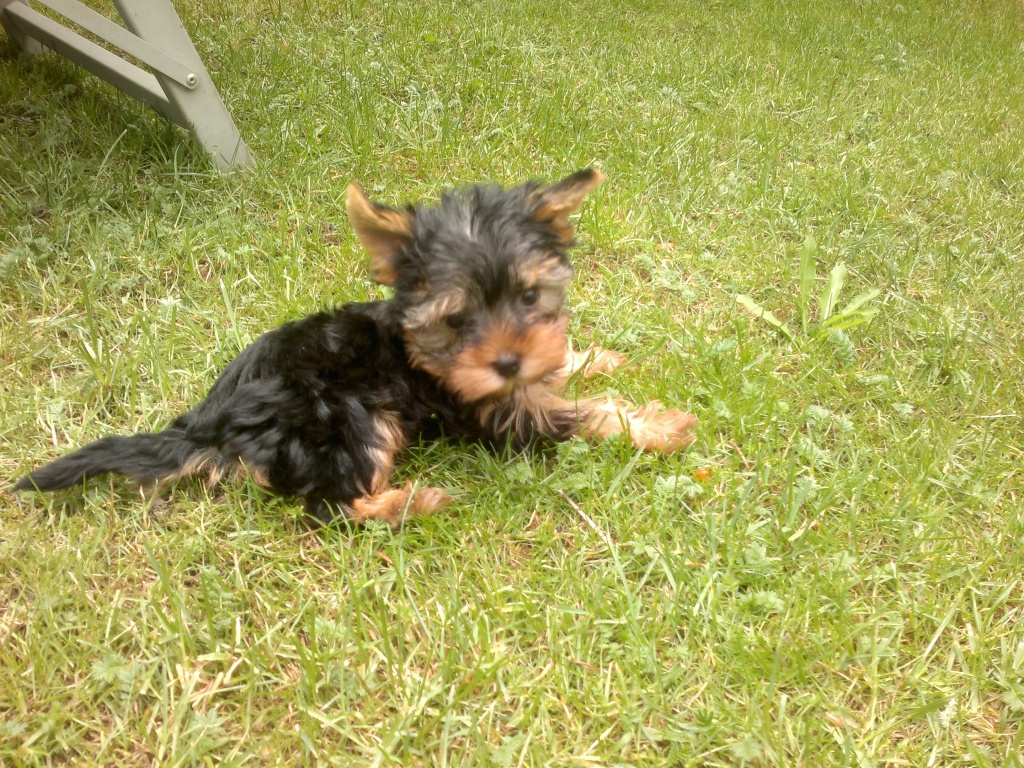 Mini Yorkshire Terrier H 252 Ndin Yorkshire