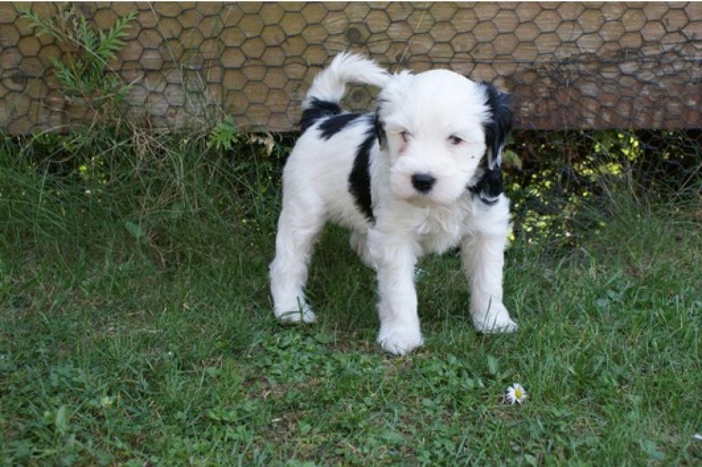 Tibet Terrier Welpen Geboren 07 03 11 Terrier