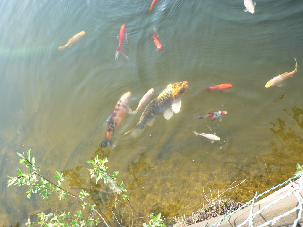 Tieranzeigen goldfische kleinanzeigen for Goldfische und kois in einem teich