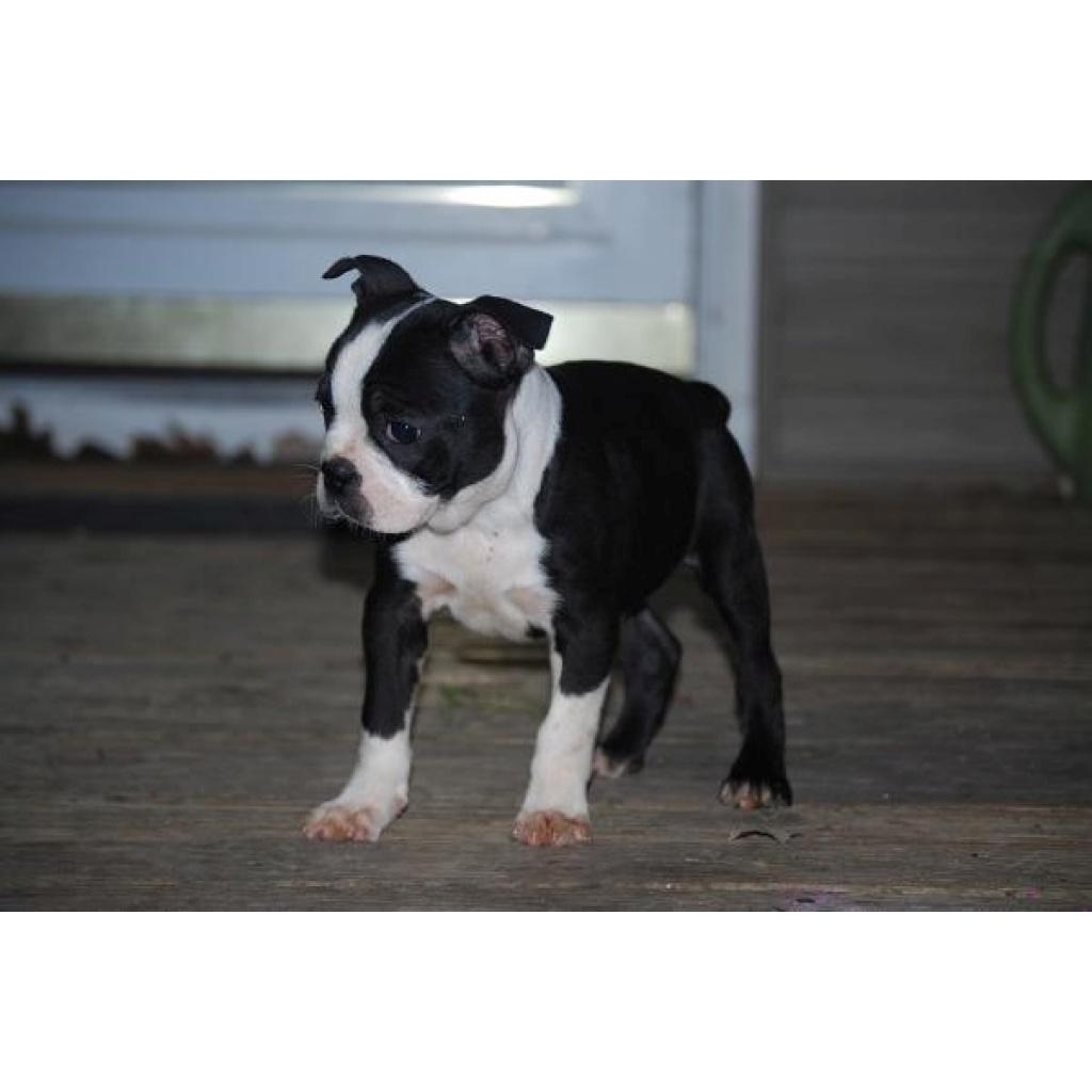 Boston Terrier Welpen ...