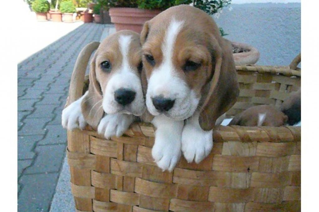 Hunde Rassehunde Beagle Tieranzeigen Seite 3