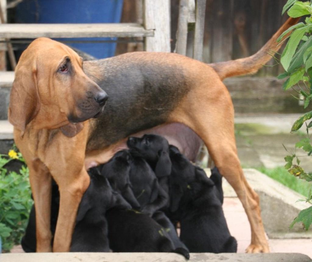 A Bloodhound To Die For Hunde - Mischli...