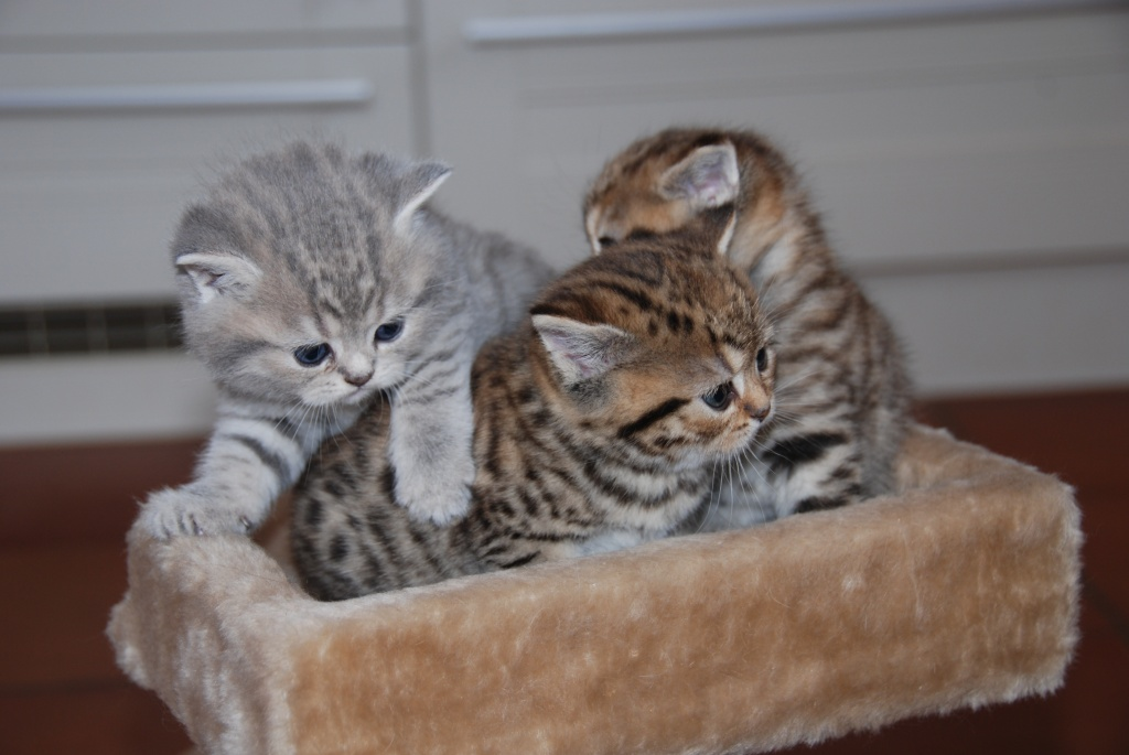 Bkh Kitten Abzugeben Whiskas Britisch Kurzhaar British Kurzhaar