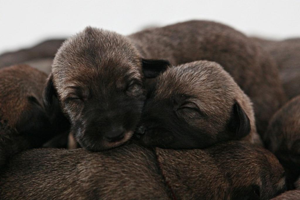 hunde rassehunde irish wolfhound tieranzeigen. Black Bedroom Furniture Sets. Home Design Ideas