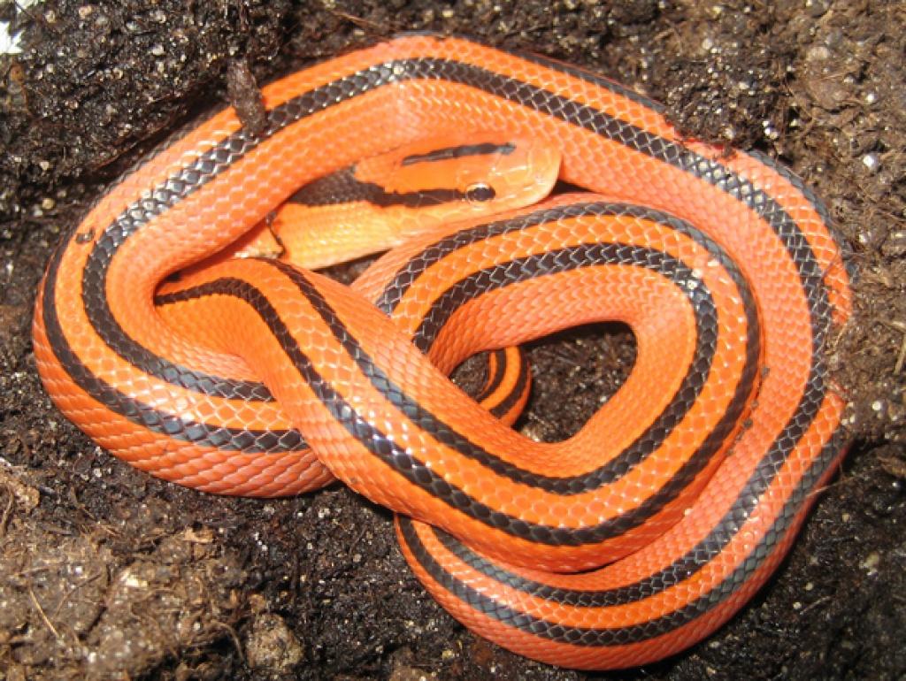 Thailandische Rote Bambusnatter Coxi Schlangen Sonstige
