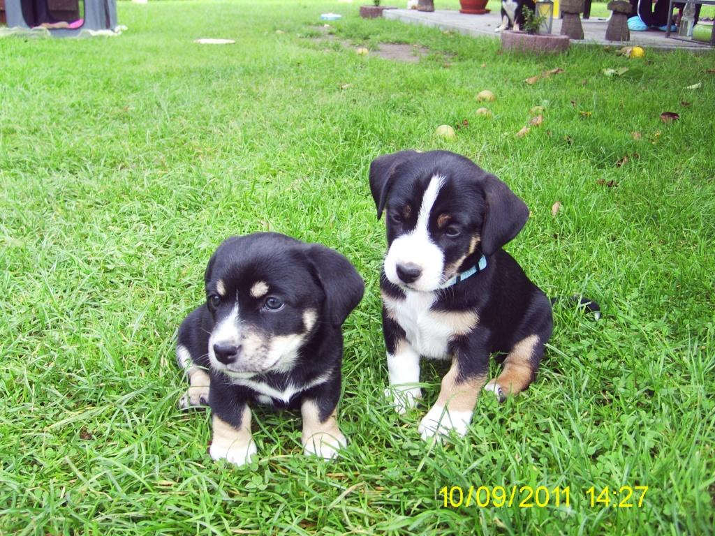 Tieranzeigen Hundewelpen Kleinanzeigen