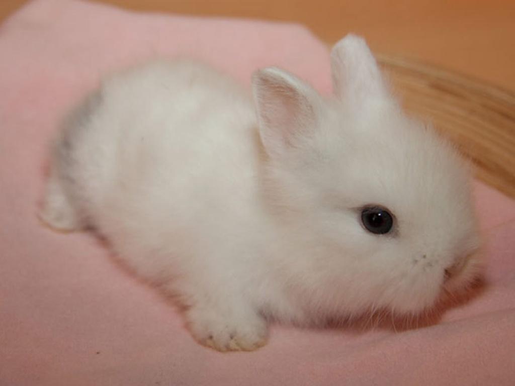 tieranzeigen kaninchenbabys kleinanzeigen. Black Bedroom Furniture Sets. Home Design Ideas