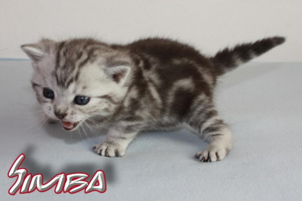 Katzen Rassekatzen Abessinier Tieranzeigen