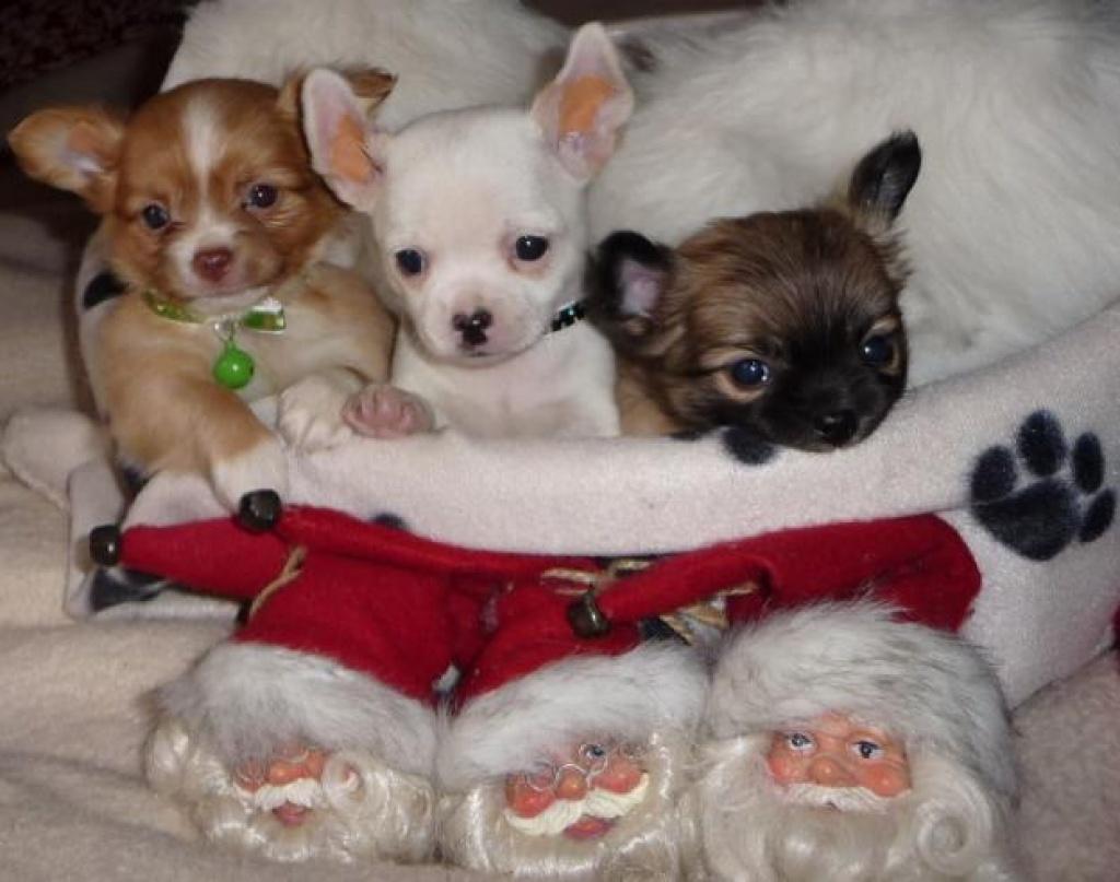 Chihuahua welpen kaufen wien