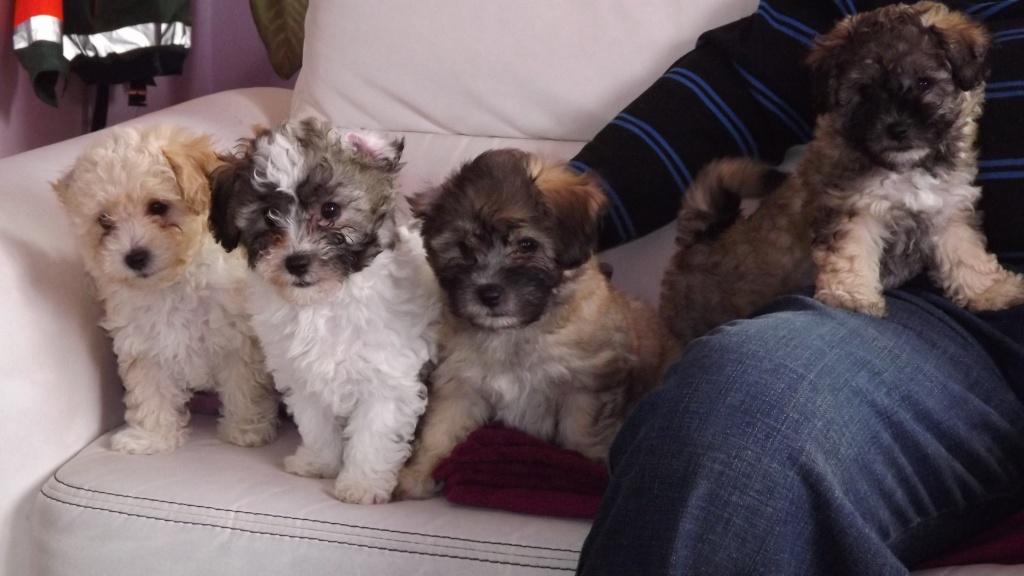 Hunde Rassehunde Bolonka Zwetna Tieranzeigen Seite 4