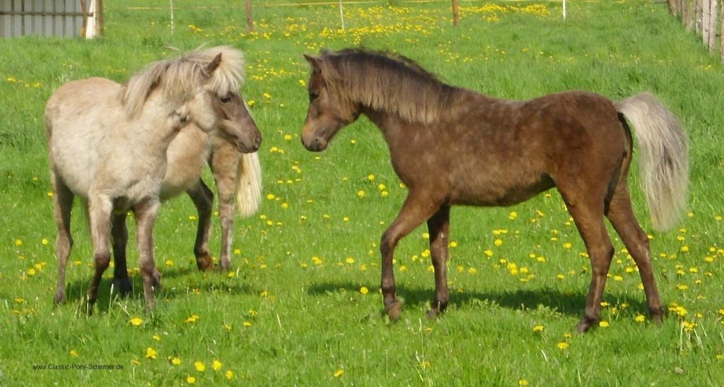s pferde kleinpferde ponys c+pferde.art s:kleinpferde ponys