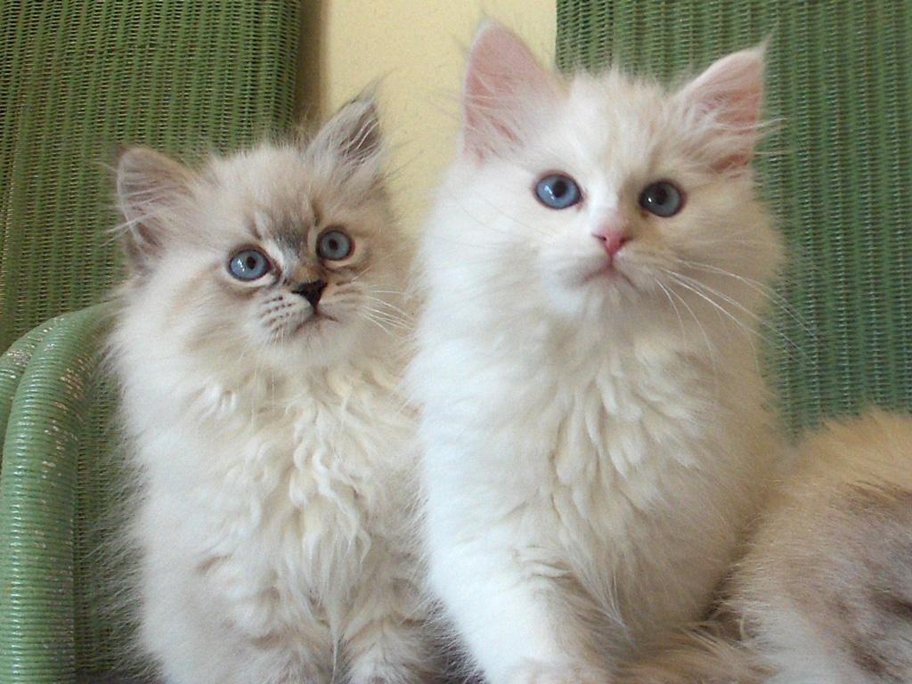Katzen Rassekatzen Neva Masquarade Tieranzeigen