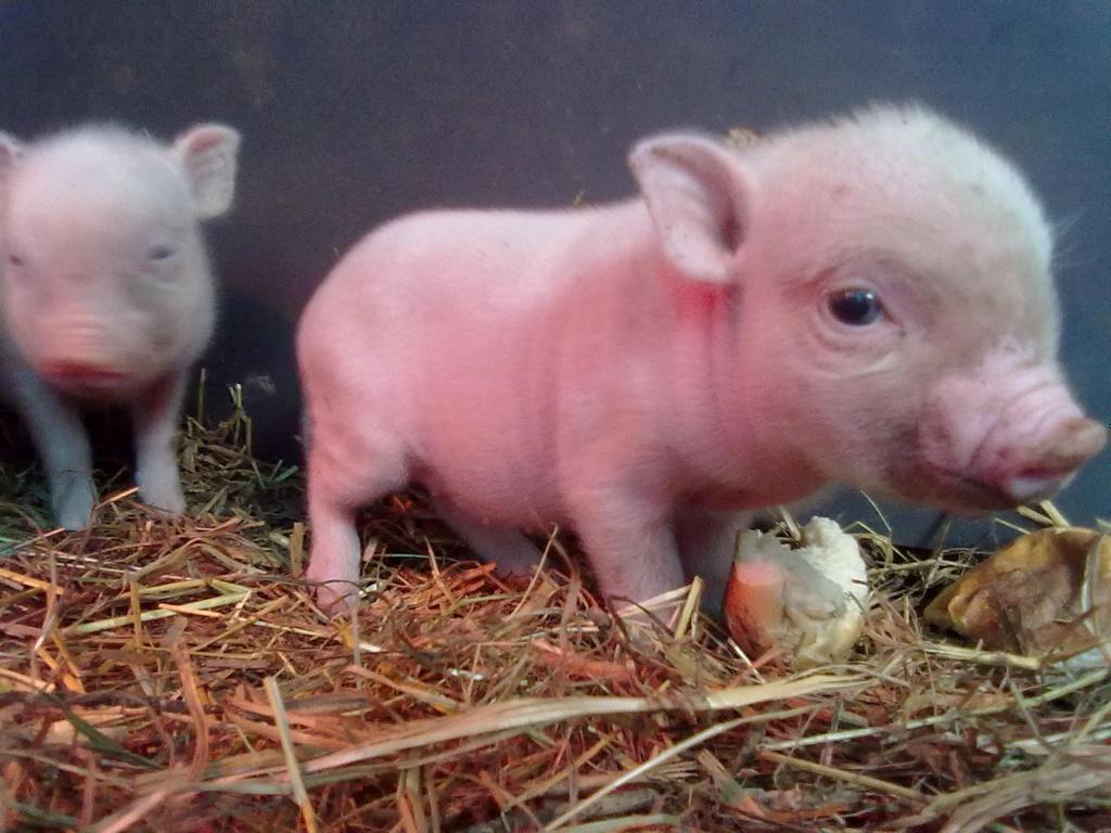 Hausschweine Mini