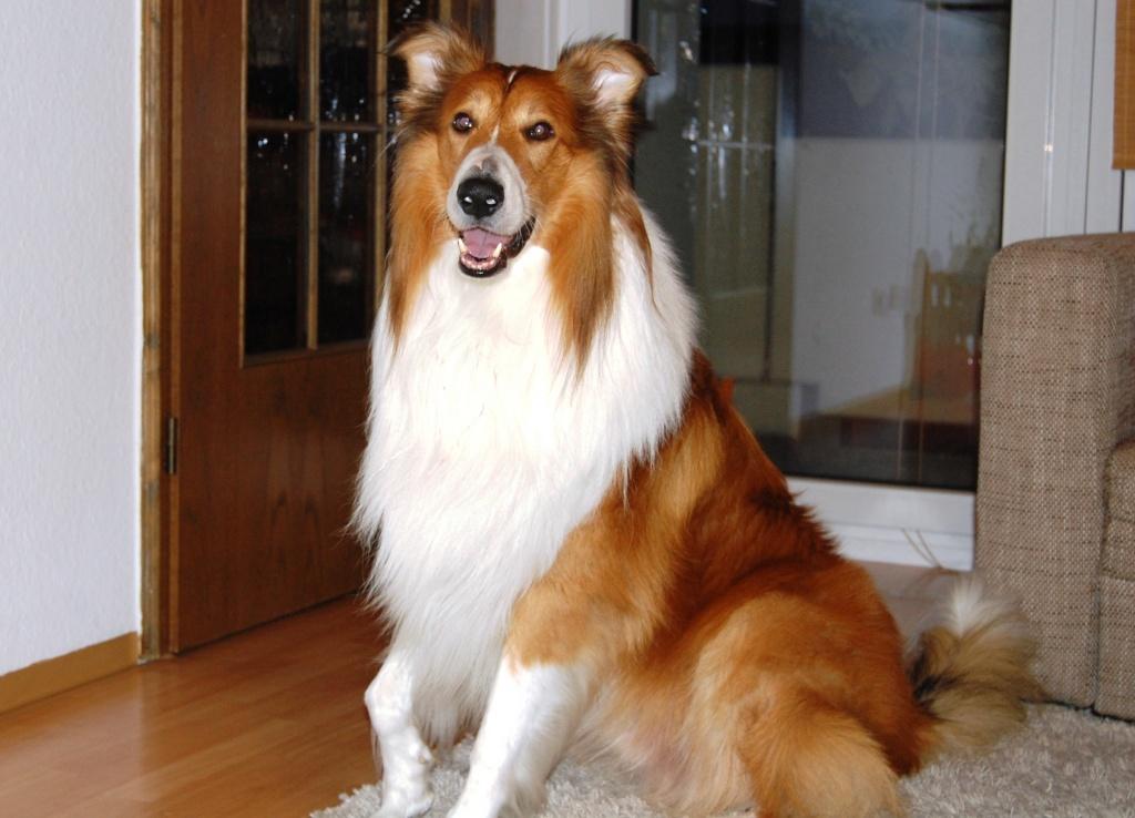 hndin decken lassen latest labrador welpen geeignete liebevolle haende abzugeben hunde. Black Bedroom Furniture Sets. Home Design Ideas