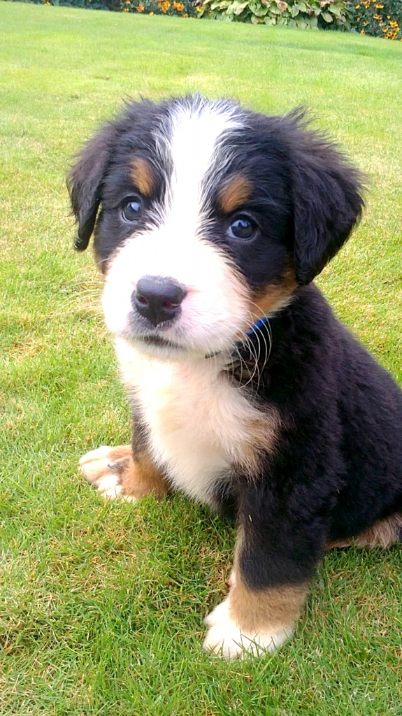 Hunde Rassehunde Bernersennen Tieranzeigen