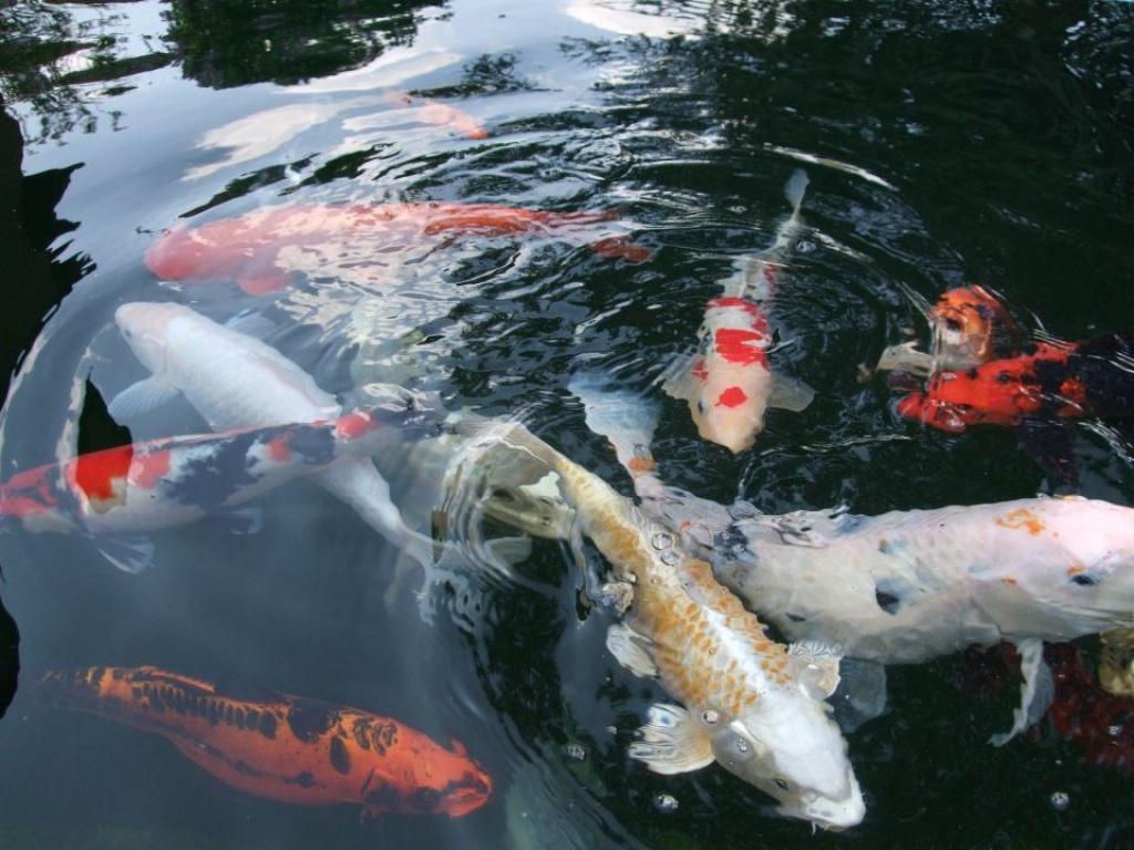 Fische koi s tieranzeigen seite 1 for Koi teichfische