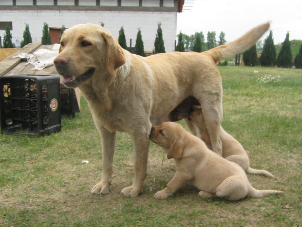 Hunde Rassehunde Labrador Tieranzeigen Seite 4
